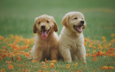 THE ESSENTIAL PUPPY POWER UP COURSE